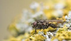 Anthomyiidae (Benjamin Fabian) Tags: lichen fly diptera anthomyiidae insect hexapod arthropod brachycera close up macro profile