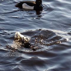 Tufted Ducks at Drumpellier Country Park (luckypenguin) Tags: scotland northlanarkshire coatbridge drumpelliercountrypark