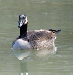 Canada goose (foxtail_1) Tags: g9 canadagoose goose geese panasonicg9 lumixg9 brantacanadensis