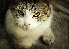 twinky (giggie larue) Tags: animapal cat stray littledoglaughedstories