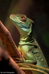 Common basilisk, Diergaarde Blijdorp (kimberlydejager) Tags: baselisk lizard animal reptiel reptile nikon d3200 dierentuin dieren diergaardeblijdorp zoo blijdorp