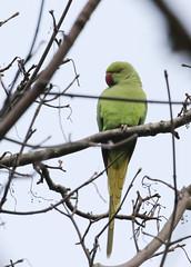 Ring necked parakeet (roger_forster) Tags: psittaculakrameri stanleypark alverstoke gosport hampshire introduced nonnative wild bird hiwwt