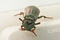 P1140646 smelly beetle (ajmatthehiddenhouse) Tags: uk stmargaretsatcliffe kent 2018 coleoptera beetle insect