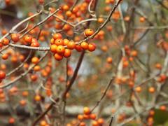 Orange Berries (Tricia H C) Tags: orange berries nature tree fruit