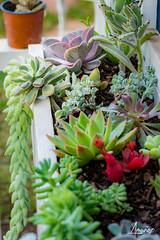 Succulent Garden (amunoztico) Tags: 2019 camera canoneosr casa creativo events flores macro poraño variadas succulent garden suculentas jardin flower flowers colors
