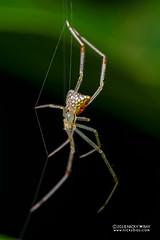 Mirror spider (Thwaitesia sp.) - DSC_4974 (nickybay) Tags: singapore admiraltypark macro mirror combfooted spider thwaitesia theridiidae