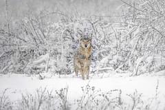 Coyote Winter (Bernie Duhamel) Tags: coyote winter colorado coloradowildlife wildlife sonya77mkii sony70400mmg2 frontrange greatphotographers teamsony rockymountains snow snowy blizzard cherrycreekstatepark aurora
