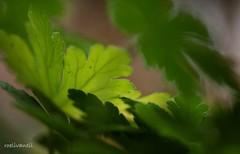 Green leaves in the garden (roelivtil) Tags: green macromonday leaves bokeh light garden geraniumleaves