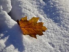 L'ombre séparée de sa source (Jean-Pierre Bérubé) Tags: split divisé flickrfriday feuille automne jpdu12 jeanpierrebérubé neige snow nikon d5300