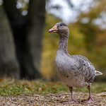 The mighty Greylag thumbnail