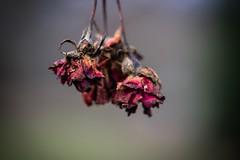 The Rose (wowafo) Tags: sonyalpha6000 wabisabi natureart nature natur makro macro rose therose