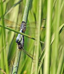 Dragonfly ♀♂ - Libellule ♀♂ (P9_DSCN9039-1PE-20180810) (Michel Sansfacon) Tags: dragonfly libellule nikoncoolpixp900 parcnationaldesîlesdeboucherville parcsquébec faune