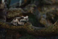 Amazon Milk Frog (Trachycephalus resinifictrix) (franzkohler) Tags: nature life animals water shedd aquarium chicago usa frog poison danger white small slime