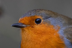 robin close up (colin 1957) Tags: robin closeup chats lackfordlakes