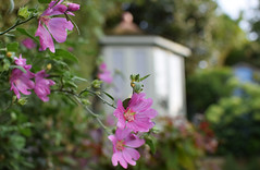 August in the Garden (Mark Wordy) Tags: mygarden flowers lavateria