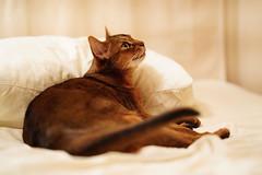 Lizzie's awake (DizzieMizzieLizzie) Tags: abyssinian aby lizzie dizziemizzielizzie portrait cat feline gato gatto katt katze kot meow pisica sony neko gatos chat fe ilce 2018 ilce7m3 a7iii pose classic pet golden bokeh dof animal t f14 85mm gm