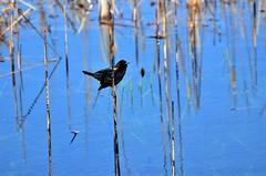 Blackbird- Red-winged Blackbird (Male), Sherburne County, Sherburne National Wildlife Refuge (EC Leatherberry) Tags: bird wildlife nationalwildliferefuge usfishandwildlifeservice sherburnenationalwildliferefuge sherburnecounty redwingedblackbird blackbrid agelaiusphoeniceus