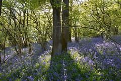 Helmeth Hill Bluebells (Seventh Heaven Photography **) Tags: helmeth hill church stretton shropshire nikon d3200 bluebells blue flowers flora blooms carpet landscape wood woods forest trees shadows