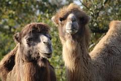 Napoleon &  Josphine (excellentzebu1050) Tags: closeup camelus camel camelusbactrianus animalportraits animal animals outdoor farm farmer coth5