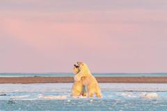 Morning Workout in the Arctic (Glatz Nature Photography) Tags: morning dawn wildanimal wildlife nature bear mammal animal nikond5 glatznaturephotography kaktovik barterisland arcticalaska arcticnationalwildliferefuge alaska arctic nanuq nanuk ursusmaritimus polarbear
