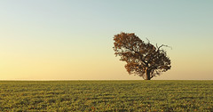 Right of centre (Explored) (Simon Verrall) Tags: simple landscape sussex westsussex oak oaktree one leaning horizon sky morning down thesouthdowns southdowns grass