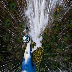 beauté de la nature , le paon (ichauvel) Tags: paon peacok oiseau bird plumage feathers plumesdepaon faune fauna exterieur outside lisbonne lisbon lisboa portugal europe westerneurope beautédelanature beautyofnature paonarlequin
