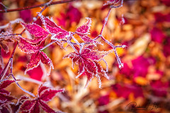 Frost On Red And Gold (rebeccalatsonphotography) Tags: frost leaves leaf red gold autumn fall seasonal season washington wa rebeccalatsonphotography bokeh canon 5ds 2470mm is