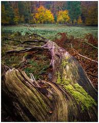 Autumn? This way! (Rob Schop) Tags: sonya6000 samyang12mmf20 f11 leuvenumsebos autumn tree gelderland veluwe focusstack forest nederland nature landscape 45