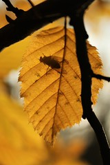Fly on a leaf (christel.n) Tags: leaf leafs fall autumn fly yellow insect silhouet macro