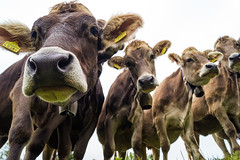 mööh (patrickhollenstein) Tags: cow cows kühe tiere animals natur nature close up swiss milk switzerland