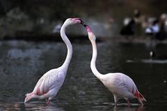 Flamencos (Thinks in Green) Tags: flamenco flamingo sigma 150600 mm contemporary nikon d3100 españa sevilla doñana parque nacional reserva de la biosfera cañada los pájaros 2018 noviembre pelea discusión interacción avifauna ave migración