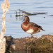 Ferruginous Duck / 白眼潛鴨 (Aythya nyroca, ♂)