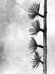 Needles (noitalsnarT_nI_tsoL) Tags: tree needles bunch branch cedar blancoynegro bw blackandwhite
