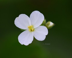 De blanco (rosaadda) Tags: naturaleza nature fantasticnature flowers flor flores macrofotografía macro nikon 5300