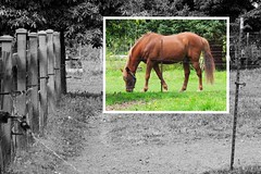 Stanley Lives On (Eclectic Jack) Tags: black white color photo photography process processing post manipulated art artistic creative different unusual animal horse rural fence green brown gentle inlay inlayed