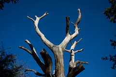 This is a deceased tree (music_man800) Tags: dead deceased tree trunks branches branch trunk old blue sky autumn autumnal clear trees woods nature woodland forest hockley gusted hall country park countryside rural essex uk united kingdom southend rayleigh walk walking hike natural light outdoors outside shadows shade sunny day 2018 holes strip wood frame vegetation canon 700d adobe lightroom creative cloud edit arty artistic photography scene scenery world lookingup up