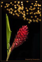 Goldregen (Panasonikon) Tags: panasonikon sonya6000 rot red goldregen altglas bokeh blume flower blatt tessar5028 redginger zeisstessar schwarzerhintergrund schwarz black blackbackground blitz flash