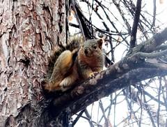 Squirrel (EcoSnake) Tags: squirrels easternfoxsquirrel rodents wildlife november fall idahofishandgamenature center