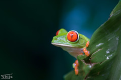 red eyed green tree frog @ Costa Rica (Thijs de Groot Photography) Tags: thijsdegroot thysphotography thysson tree travelphotography traveling canon80d costarica rainforest foto fotografie frog kikker red eye colorful amphibians jungle monte verder nature green amazing outdoor perfectplace monteverde