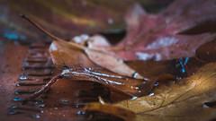 'autumn leaves' (Jeannette Maandag) Tags: autumn leaves water soft dof colors fujixt3 closeup extensiontubes