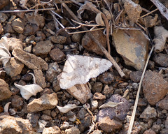 moth ? (apmckinlay) Tags: animals insects moths nature terlingua texas unitedstates us