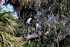 Wood Stork and Midnight Heron (Fido Cat) Tags: nature frippisland southcarolina birds storks woodstork herons greenheron midnightheron egret