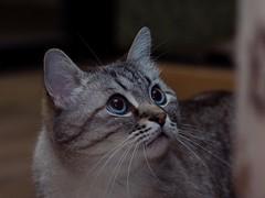 PC220875 (Vladimir V. Samoylov) Tags: 75mm animals cat e5markii mzuiko75mmf18 m43 micro43 microfourthirdsmicro43 olympus olympusm75mmf18 omd μ43