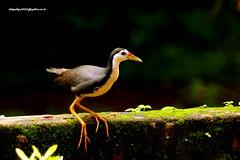 IMG_6352 White-breasted Waterhen (Amaurornis phoenicurus) (vlupadya) Tags: greatnature animal aves fauna indianbirds waterhen whitebreasted amaurornis kundapura karnataka