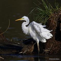0S8A0283. Great Egret (Egretta alba) - Grande Aigrette (Nick Ransdale (http://www.nick-ransdale.com/)) Tags: egrettaalba greategret