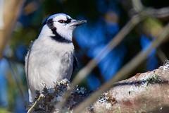 Blue Jay (chittalr) Tags: bluejay cyanocitta cristata cyanocittacristata maine winter winterbirds bird birds backyardbird passerine nikon nikond7200 d7200 tamron tamron150600