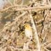 DSC_7009.jpg American Goldfinch, Struve Slough, Watsonville