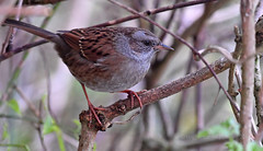 Dunnock (Ian A Photography) Tags: birds birdwatch britishbirds dunnock gardenbirds nature nikon portraits ukbirds ukwildlife wildlife goldwildlife