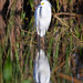 Snowy egret and reflection at sunrise at Fred C. Babcock/Cecil M. Webb Wildlife Management Area near Punta Gorda, Florida