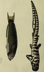 This image is taken from Indian zoology (Medical Heritage Library, Inc.) Tags: zoology wellcomelibrary ukmhl medicalheritagelibrary europeanlibraries date1790 idb28767214